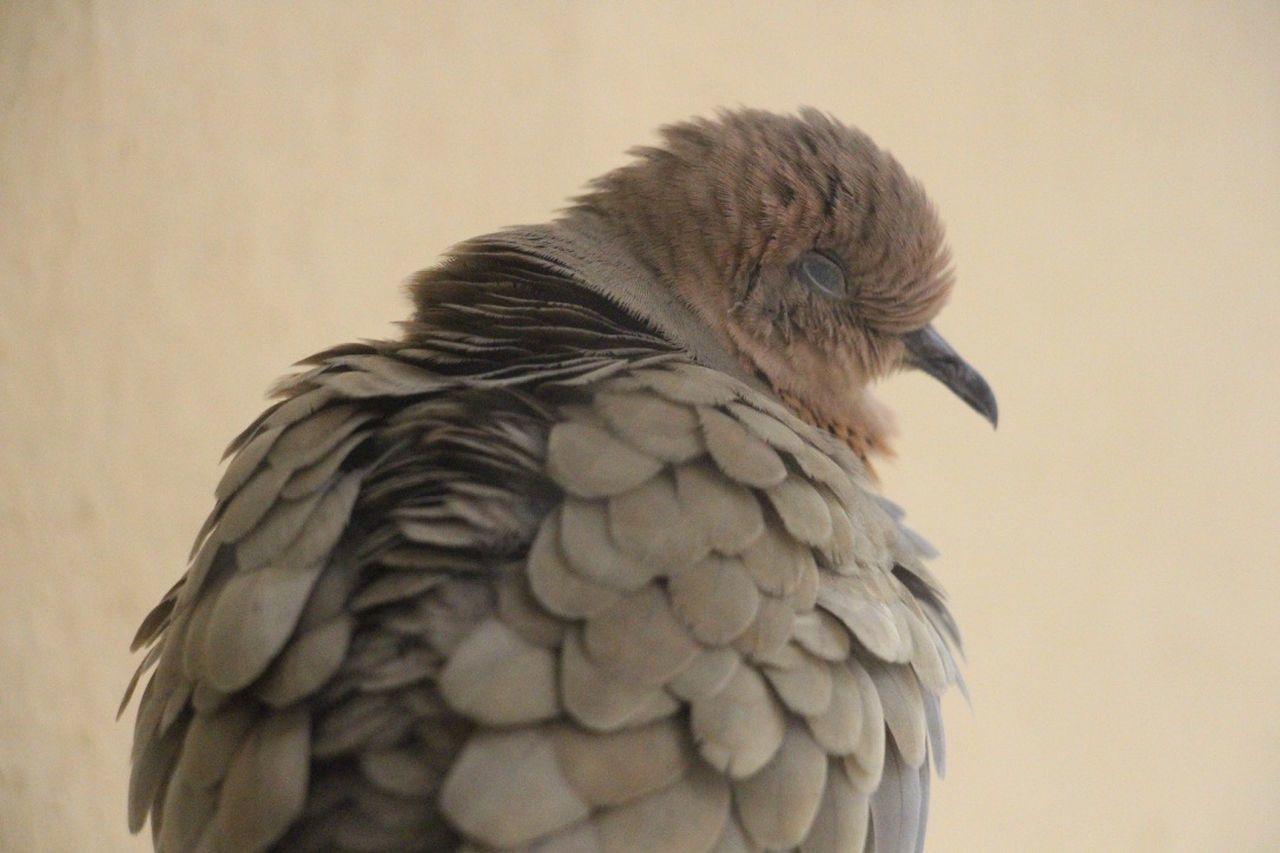 bird, one animal, animal themes, animals in the wild, animal wildlife, no people, close-up, beak, perching, day, outdoors, nature, bird of prey