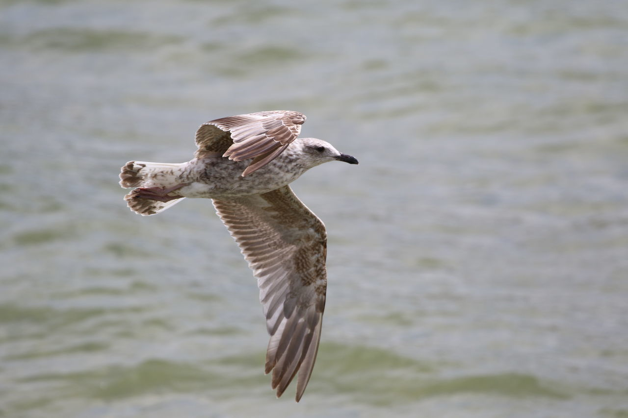 Animal Themes Animal Wildlife Animals In The Wild Beauty In Nature Bird Close-up Day Flying Lake Mid-air Nature No People One Animal Outdoors Seagull Spread Wings Water