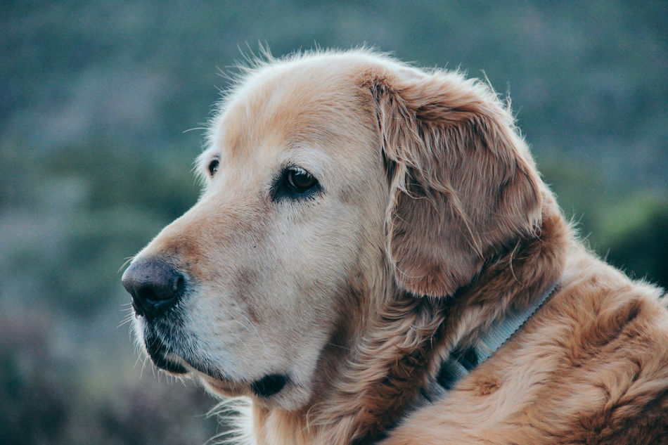 America Country Countryside Creamy Dog Domestic Animals Farm Golden Golden Retriever Hill Country Loyal Loyalty Mature Old Dog Pet Ranch Ranch Life Sophisticated Texas