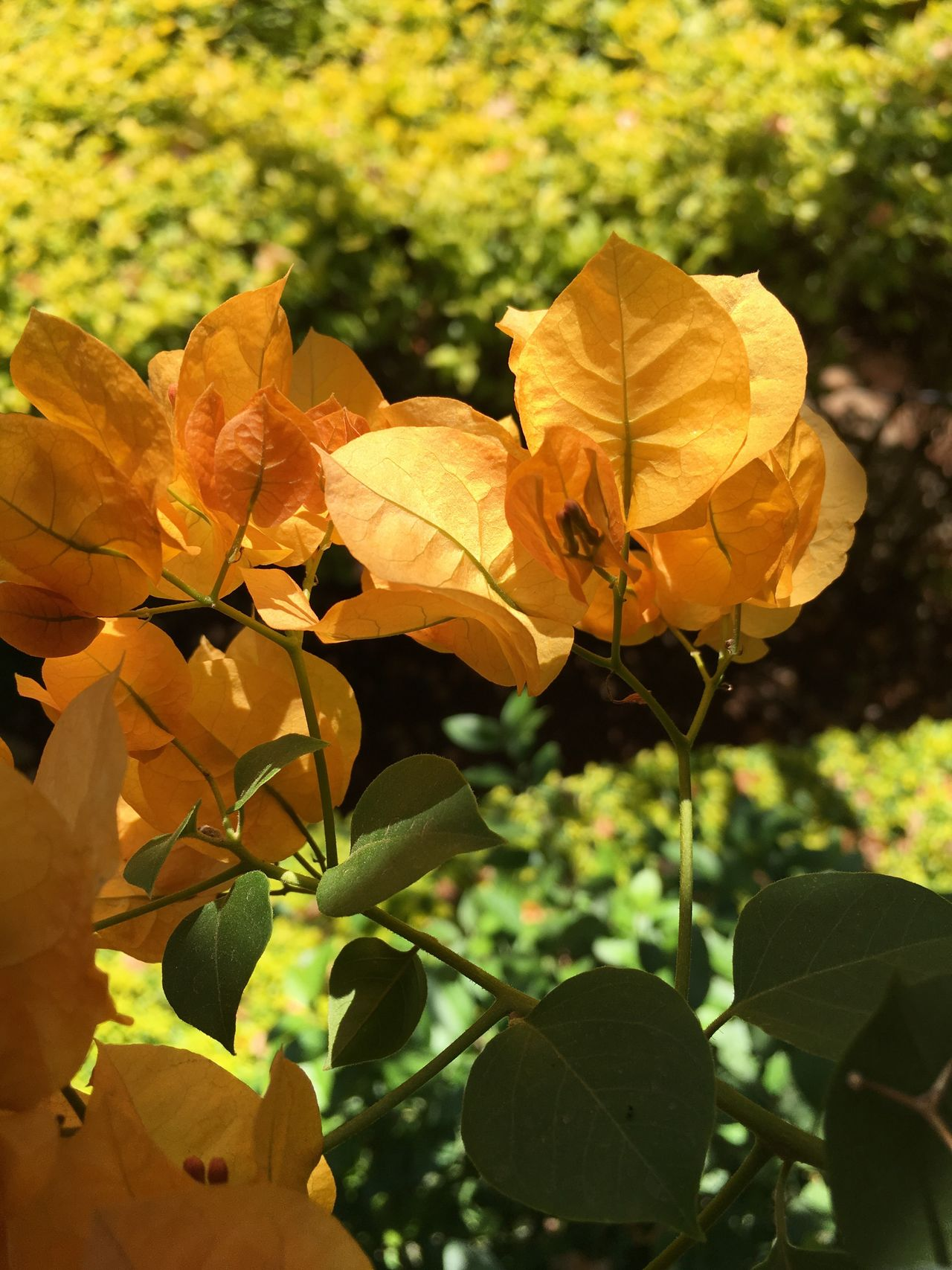 IPhone IPhoneography Bougainvillea Unedited Leaf Nature Yellow Beauty In Nature Tree Orange Color Close-up Outdoors Focus On Foreground No People Autumn Growth Change Day Fragility Freshness Flower Head