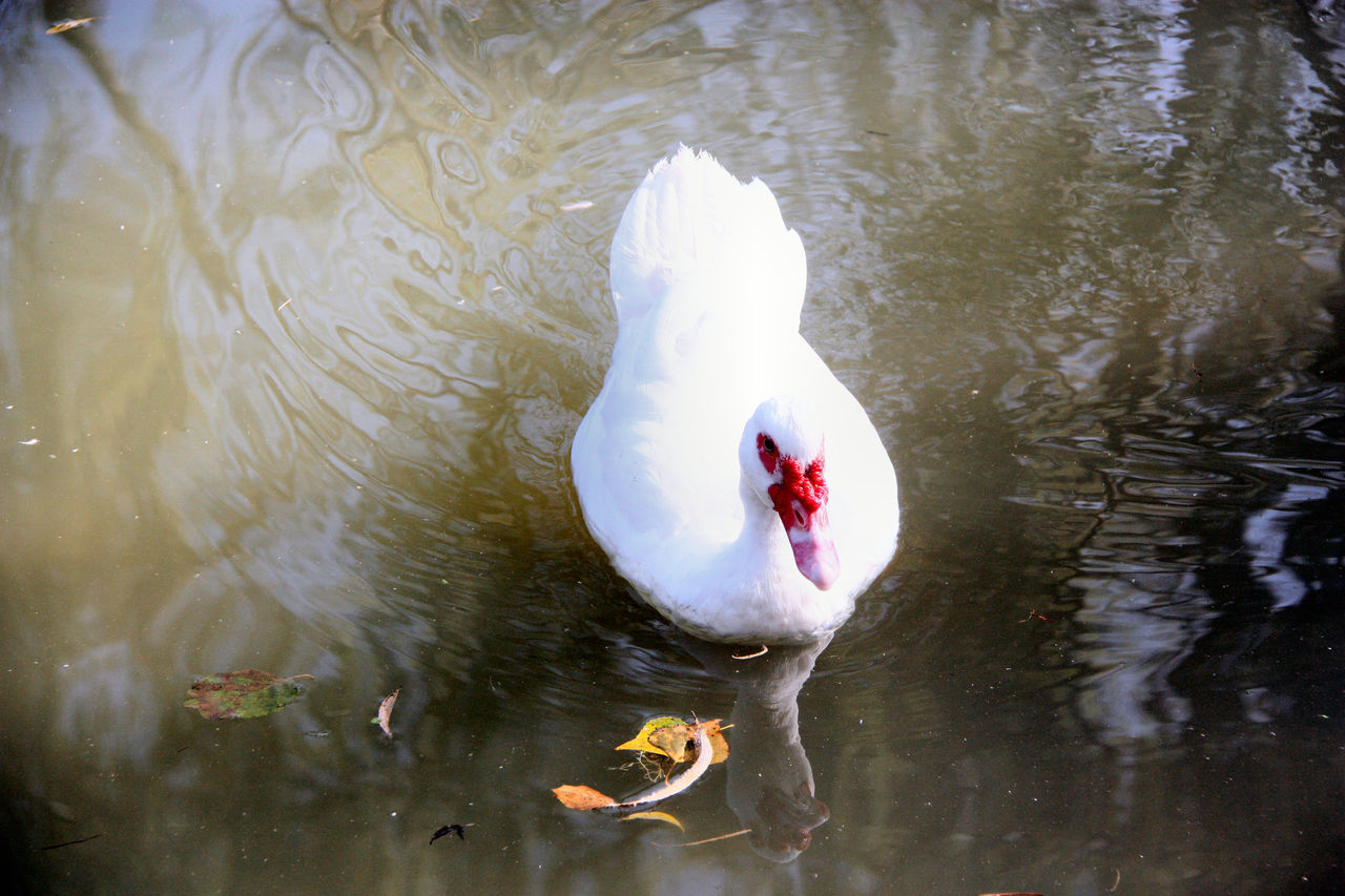 Parco Centenario Animal Animal Theme Animal Themes Animals In The Wild Animals In The Wild Bird Ducks EyeEm Nature Lover Nature Nature No People Reflections Standing Water Tranquility Water Water Bird Water Surface Zoology Zoology Perching