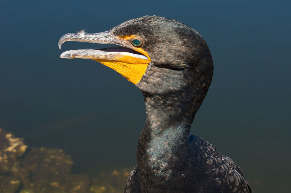 Animal Animal Head  Animal Themes Beauty In Nature Bird Close-up Double-crested Cormorant Outdoors Wildlife