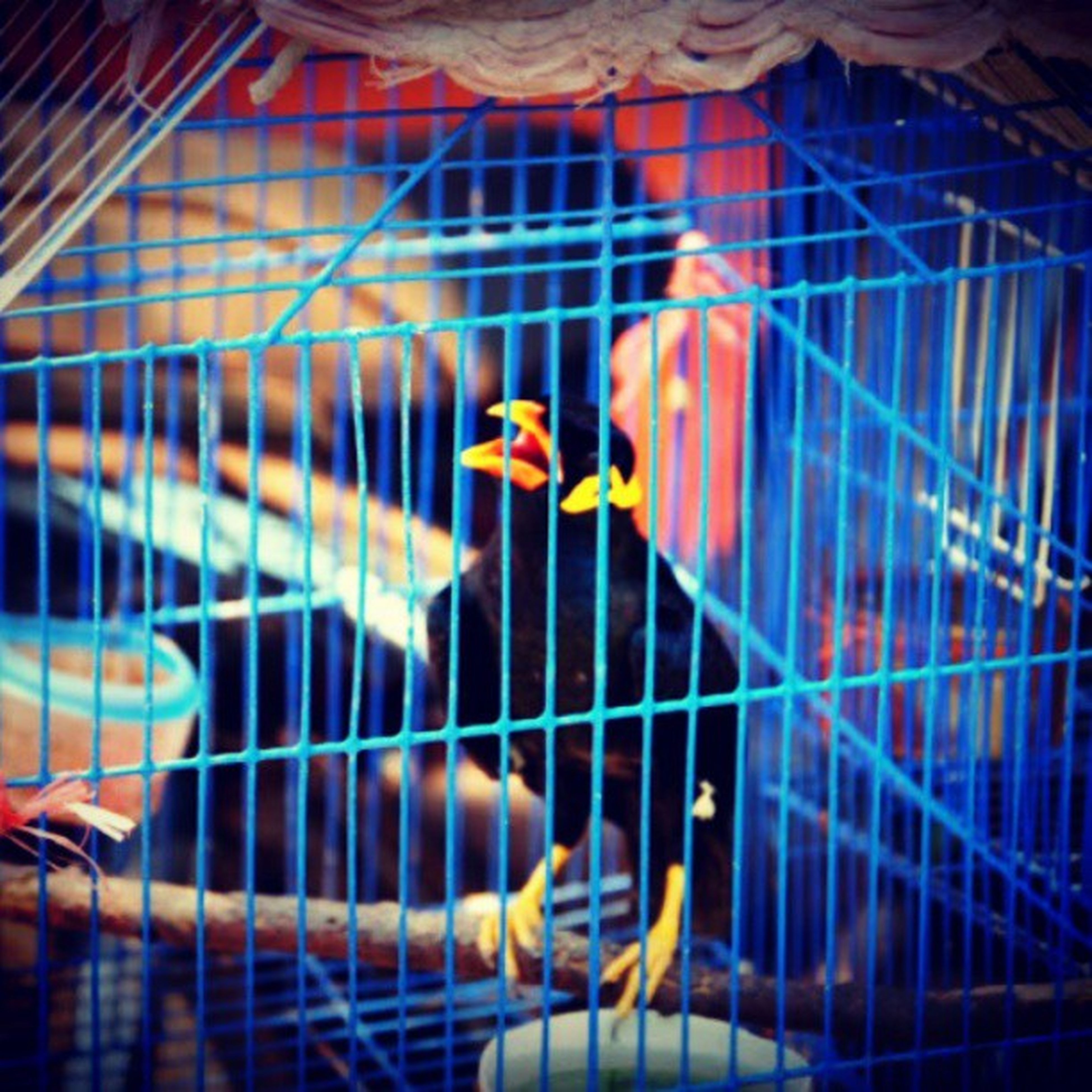animal themes, bird, cage, animals in the wild, animals in captivity, wildlife, one animal, indoors, built structure, birdcage, perching, parrot, architecture, men, building exterior, focus on foreground, fence, pets