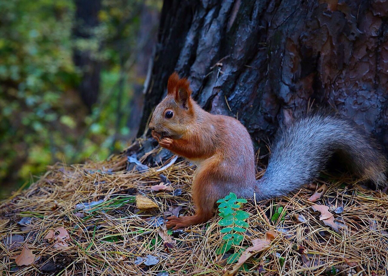 Beautiful stock photos of squirrel, Animal Themes, Animals In The Wild, Berdsk, Brown