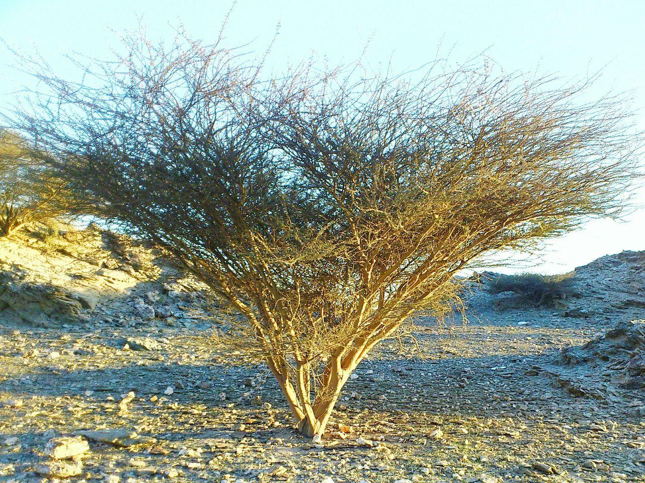 Desert tree Oman. Tree Silhouette Trees Mountains Desert Beauty Tree In The Desert Tree At Sunset