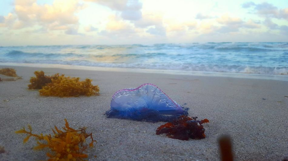 Jellyfish Portuguese Man O' War Beach Nature Sea Sand No People Outdoors Horizon Over Water Beauty In Nature Miami Beach Miami, FL Atlantic Ocean Golden Hour Pink Color Sunset Water Sky Day Aquatic Life Sea Creature