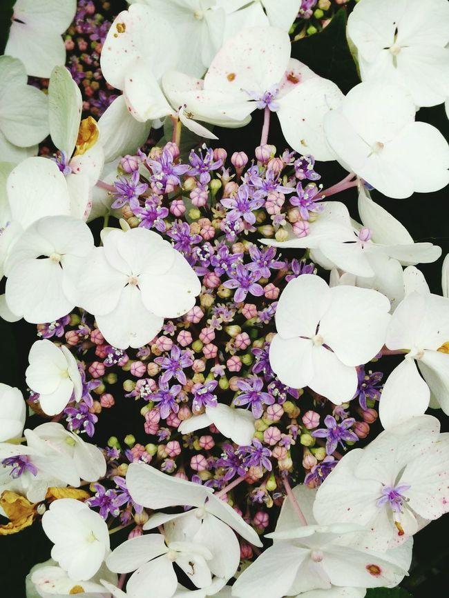 White, purple, flower, garden, backyard, hortensia, holland, achterhoek, Hanging Out Taking Photos Enjoying Life
