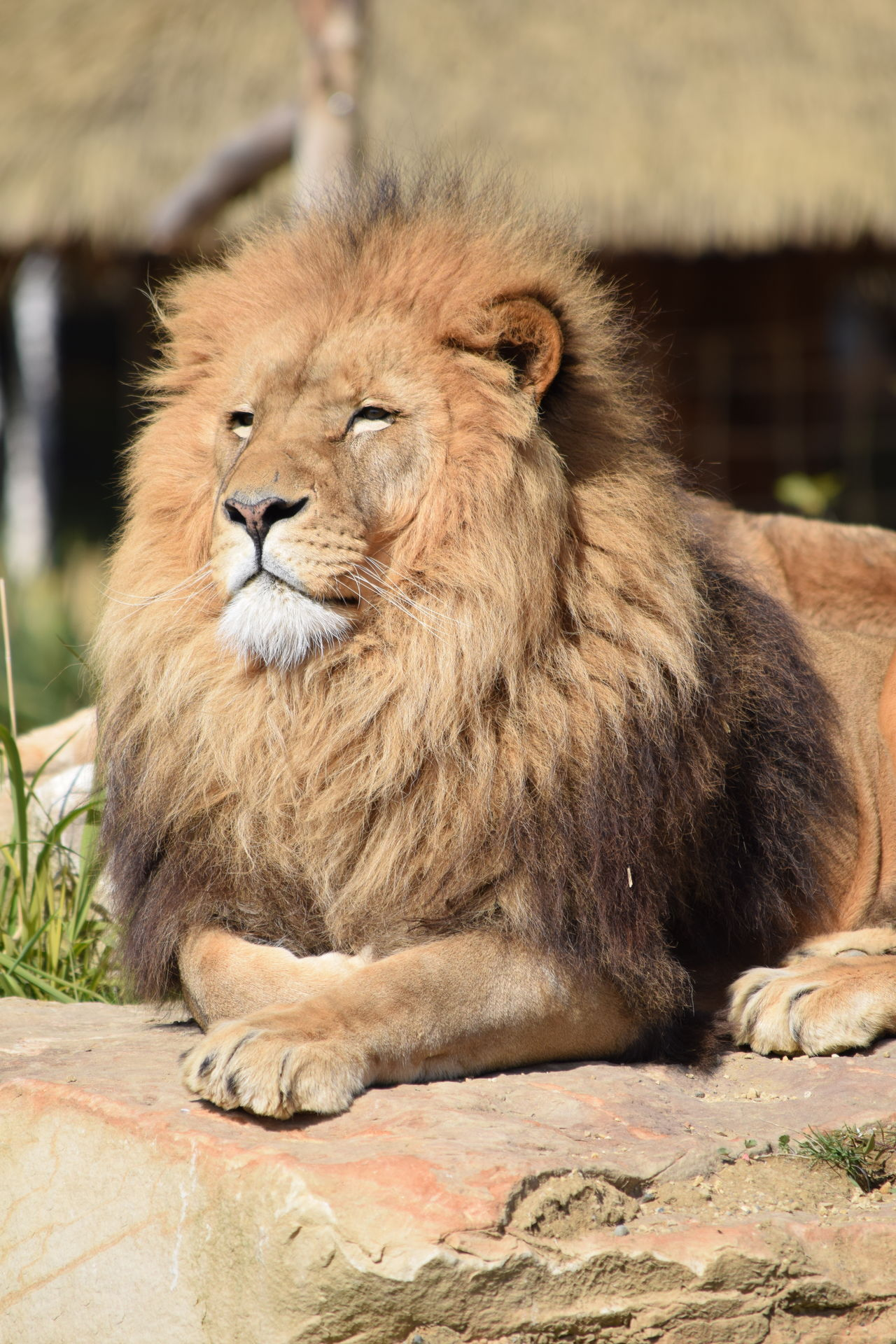 lion Animal Themes Animal Wildlife Animals In The Wild Close-up Day Feline Full Length King Lion Mammal Nature No People One Animal Outdoors Powerful Rock Sitting Strong
