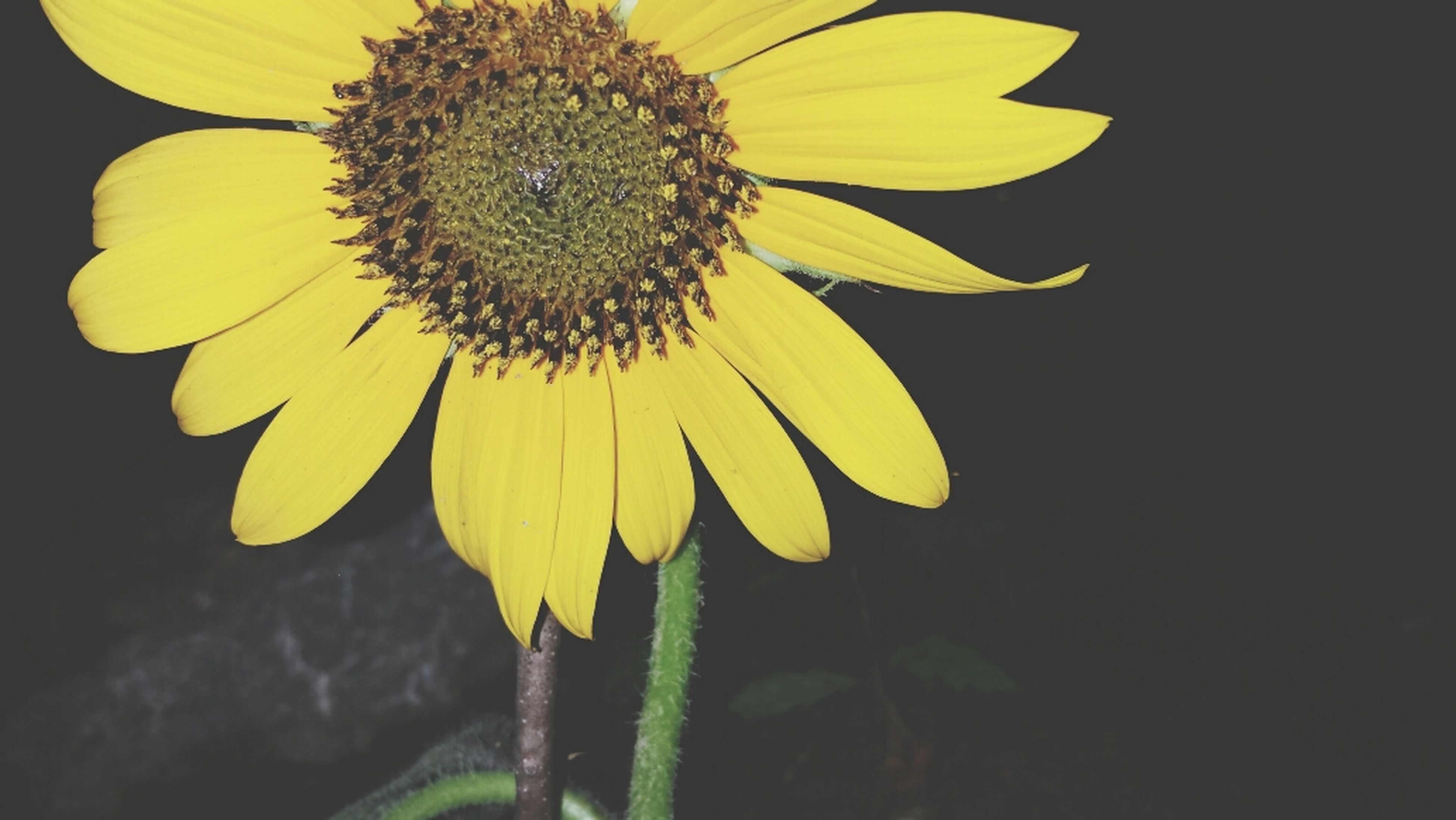 flower, petal, fragility, freshness, flower head, yellow, growth, one animal, beauty in nature, single flower, close-up, nature, plant, pollen, blooming, focus on foreground, insect, animal themes, sunflower, stem