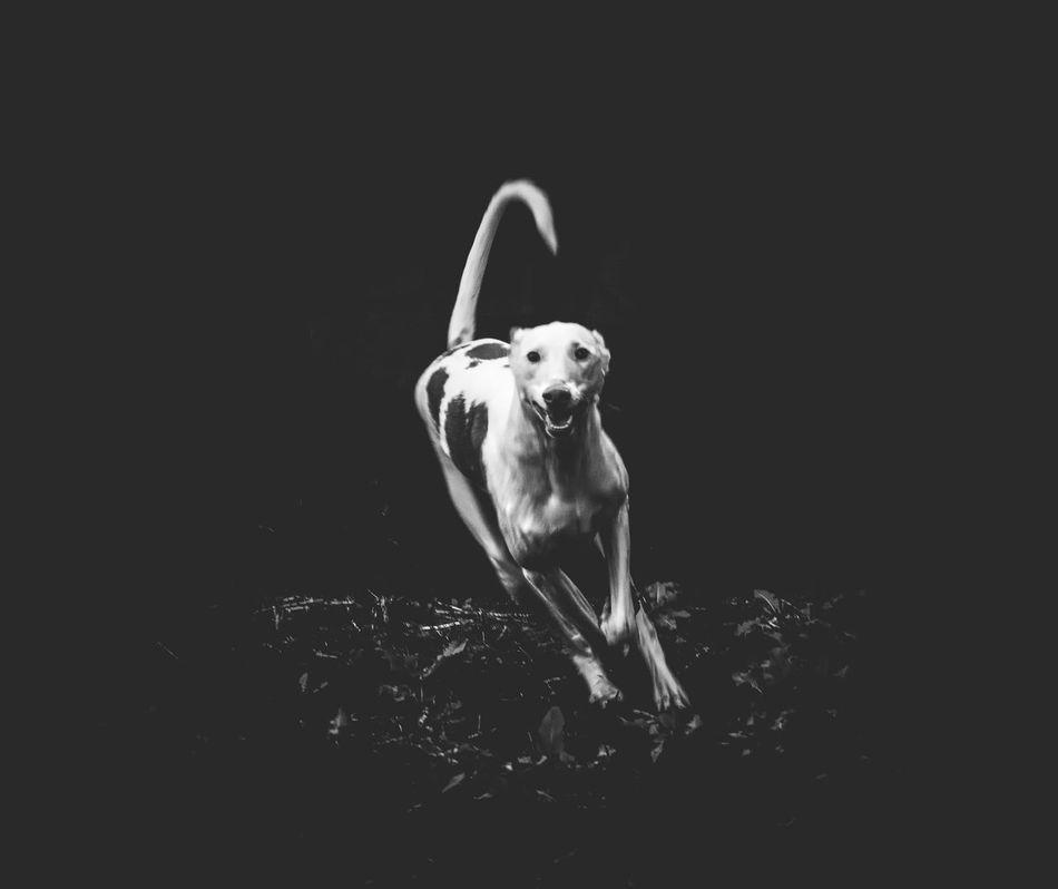 Animal Themes Black Background Dog Domestic Animals Full Length Ibizan Hound Mammal No People One Animal Pets Podenco Ibicenco Spanish Studio Shot
