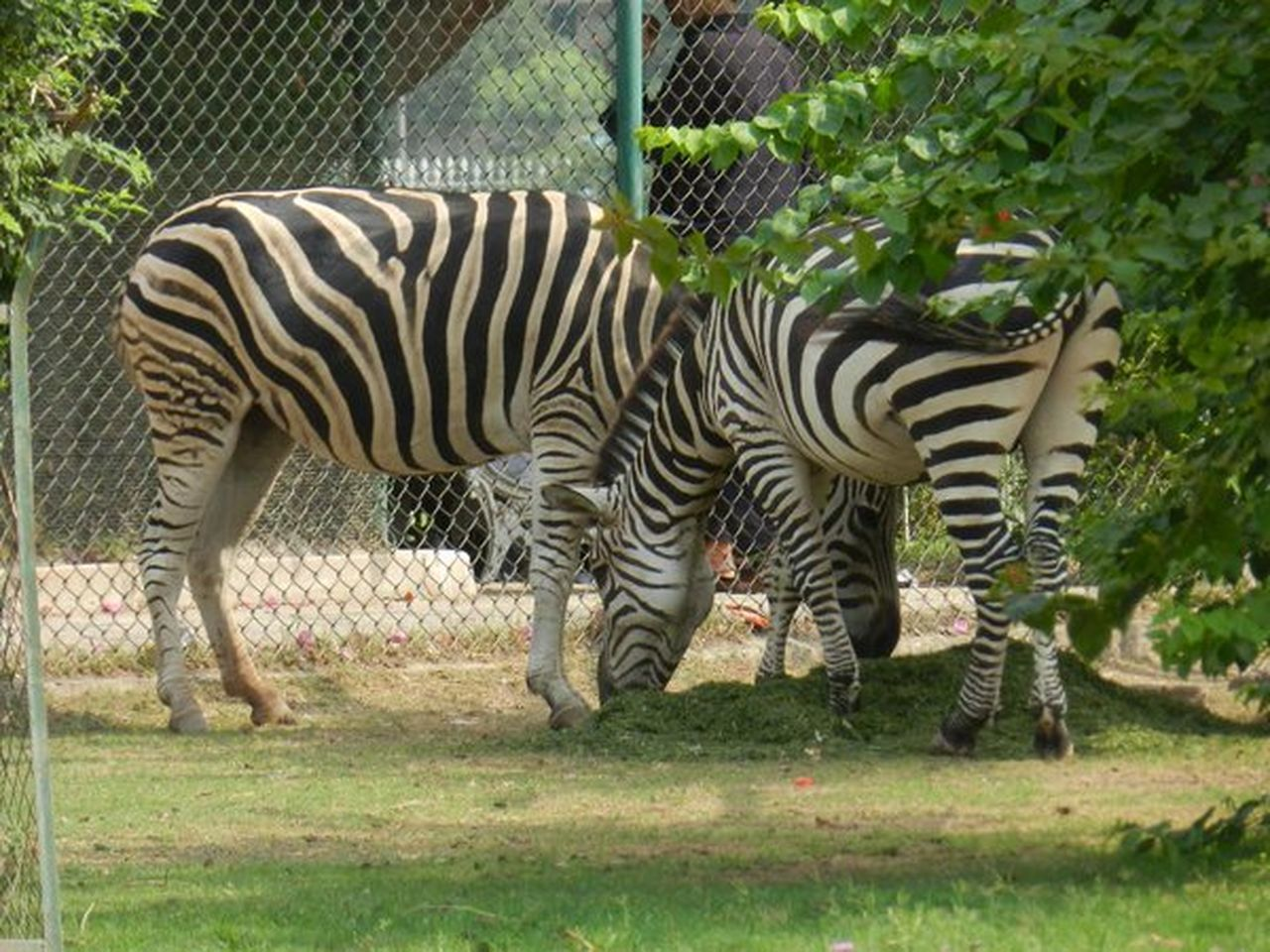 Tatara park in Pakistan Animal Themes Zebra Nature Grass Zoo Pakistani Beauty Tatarapark At Pakistan Pakistani Beauty Park Life Enjoymentoflife Nature Photography Asiapark