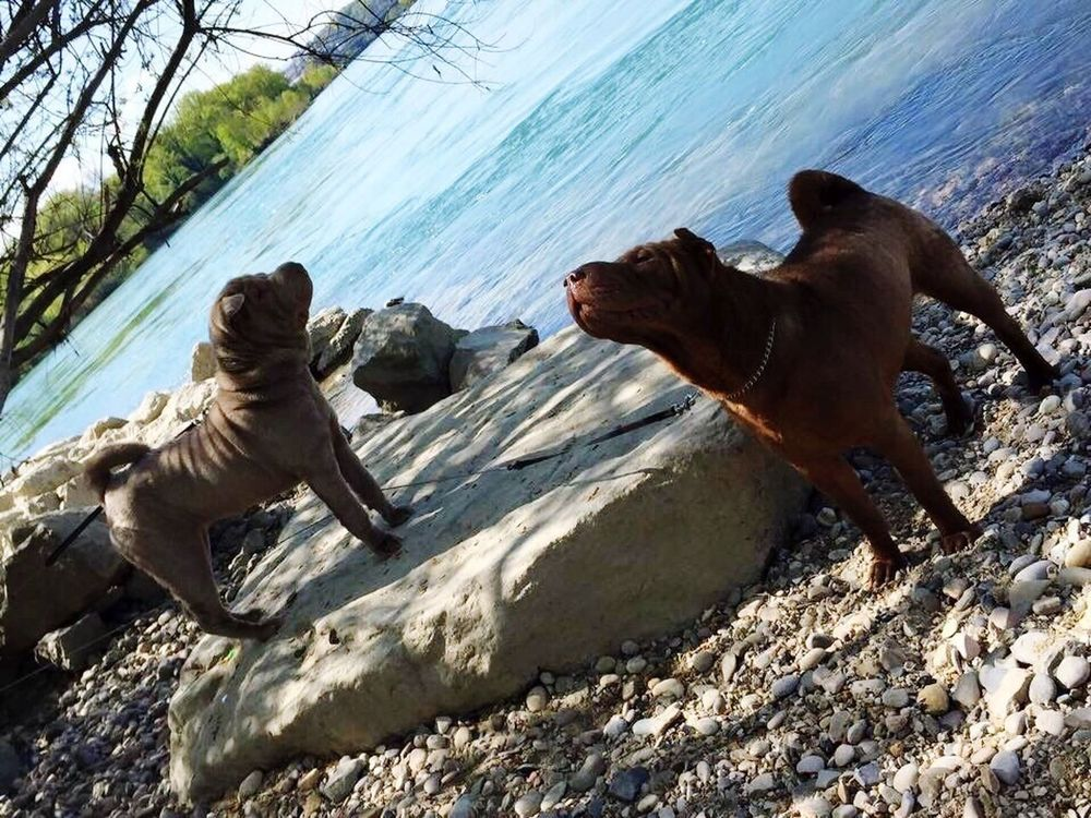 Jazzy & Get Sharpei Animals Chien Chien♥ Dogs Nature_collection Nature Animal Animal Photography Animals In The Wild Chiens Dog Love Dogs Animal Love