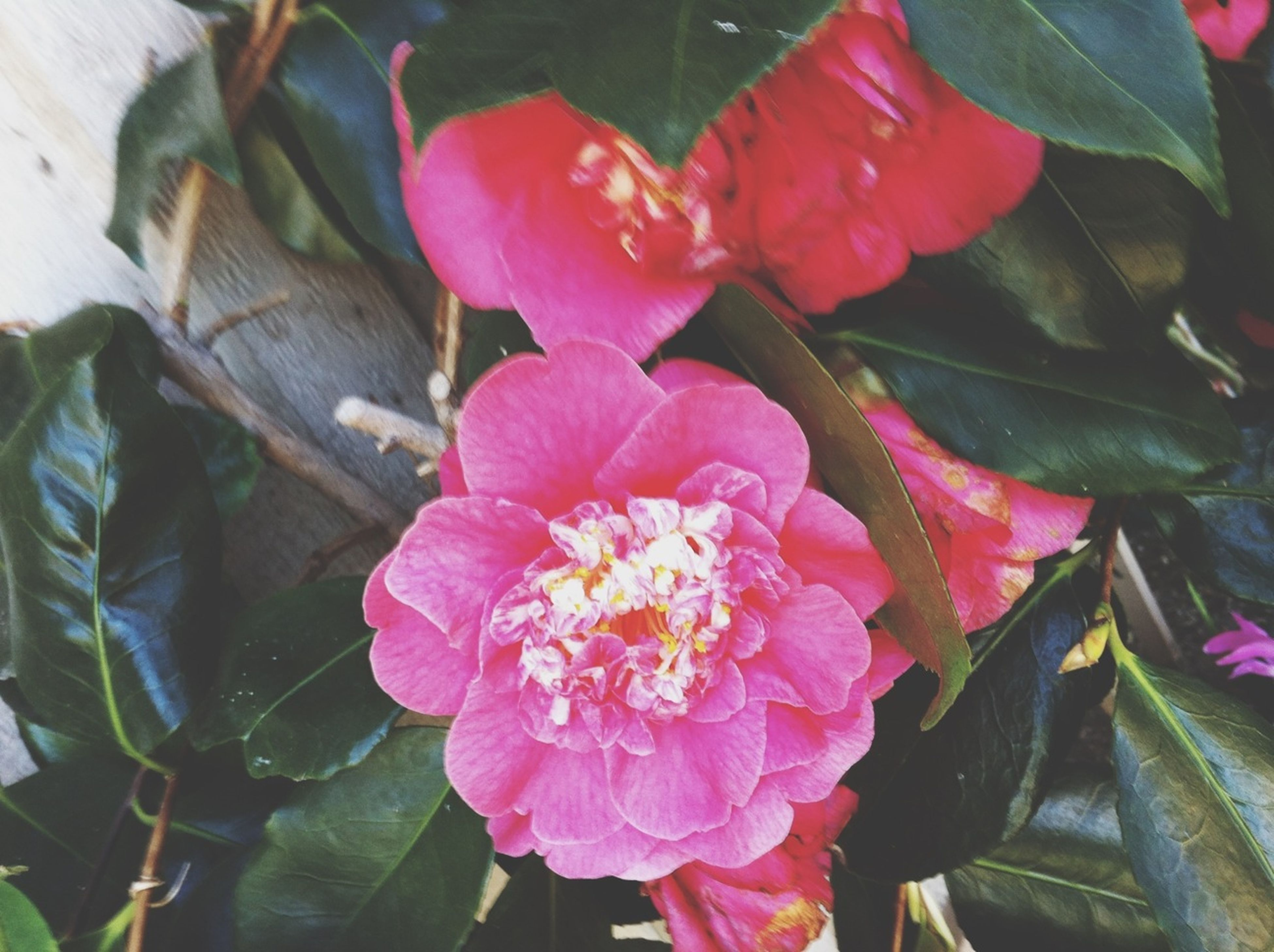 flower, petal, freshness, fragility, flower head, pink color, growth, leaf, beauty in nature, blooming, plant, nature, close-up, high angle view, pollen, in bloom, pink, park - man made space, outdoors, day