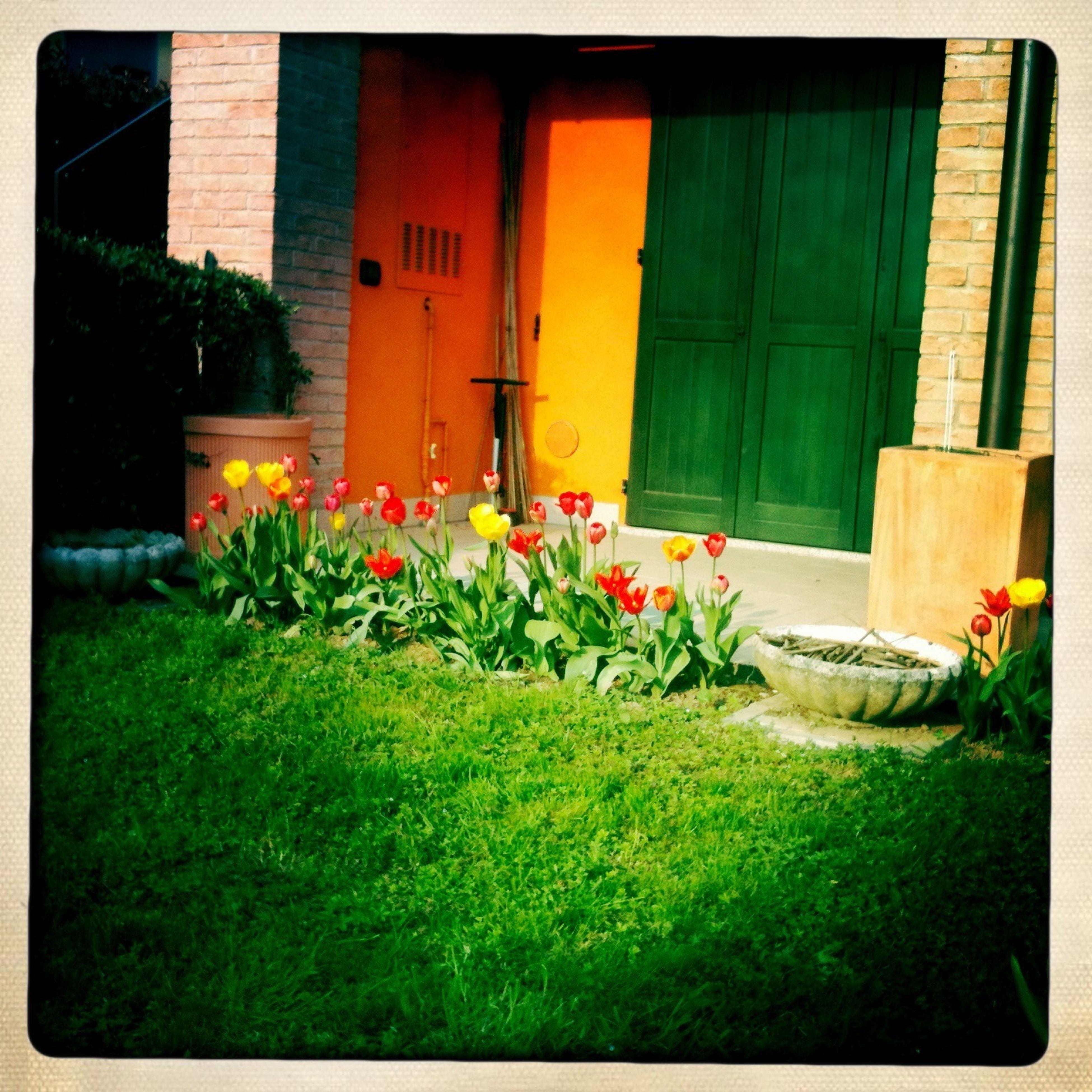 I miei tulipani l'anno scorso