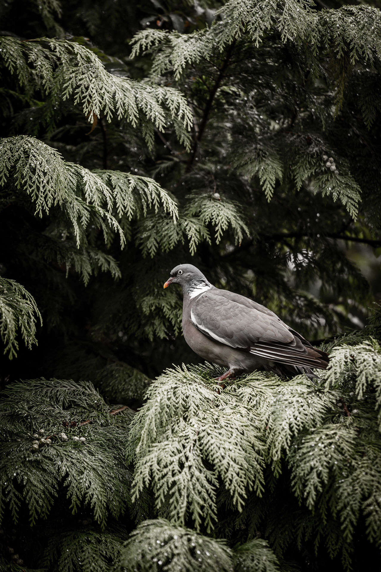 Animal Behavior Animal Head  Animal Themes Animals In The Wild Avian Beak Beauty In Nature Bird Dove Green Mysterious Nature Nature On Your Doorstep Nature Photography Nature_collection One Animal Perching Portrait Scenics Serious Tree Watch Out! Wildlife Alertness Always Be Cozy