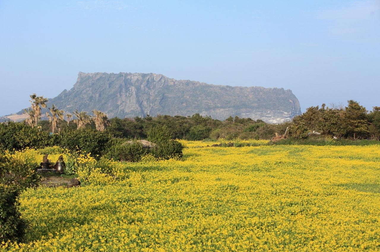 Beauty In Nature Flower JEJU ISLAND  Landscape Nature RapeFlowers Yellow