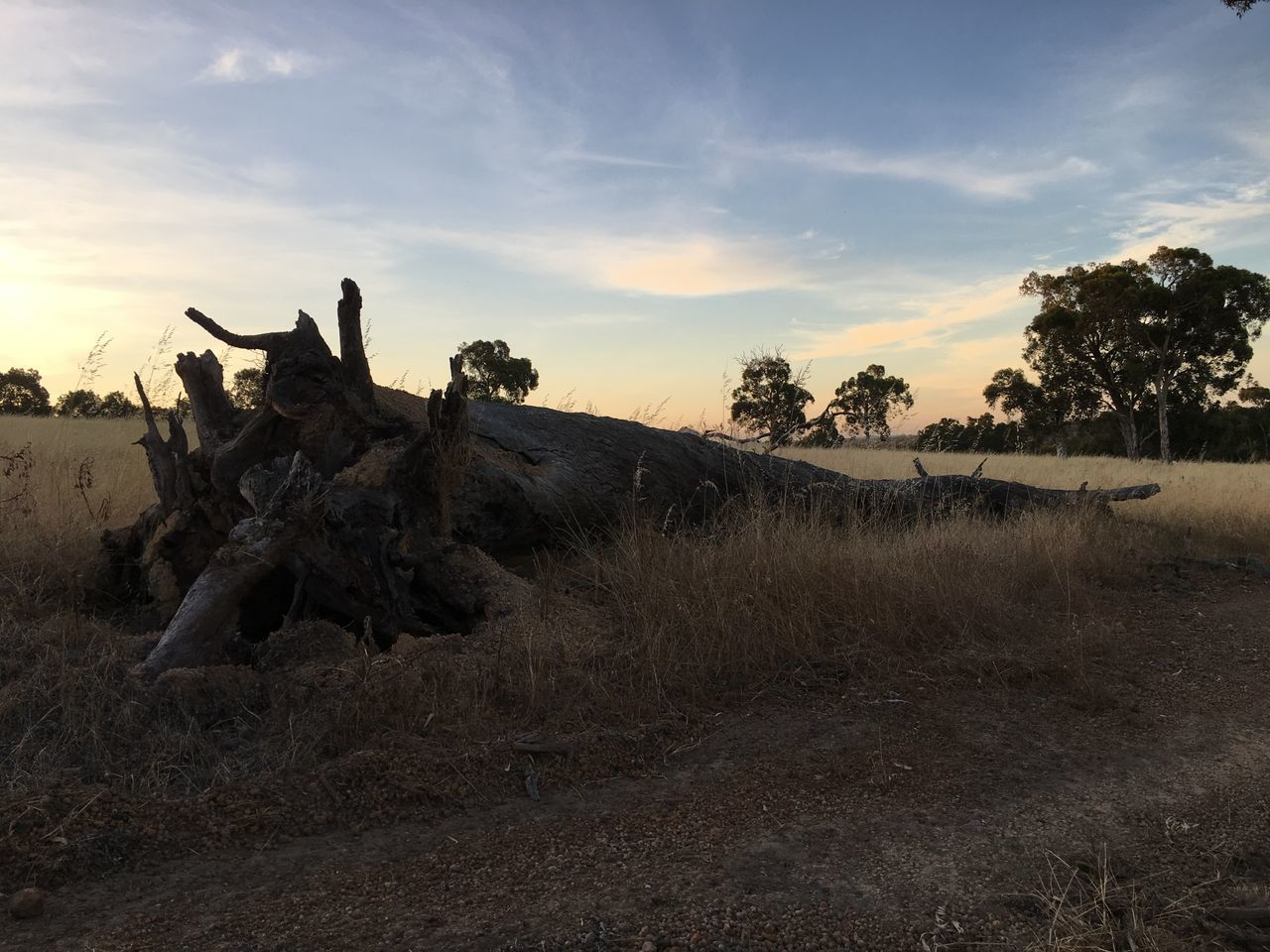 Australia Beauty In Nature Blue Sky Cloud - Sky Clouds Countryside Crop  Cultures Day Dead Tree Dry Fallen Tree Farm Farming Field Grass Nature Nature Nature_collection No People Outdoors Roots Sky Sunset Tree
