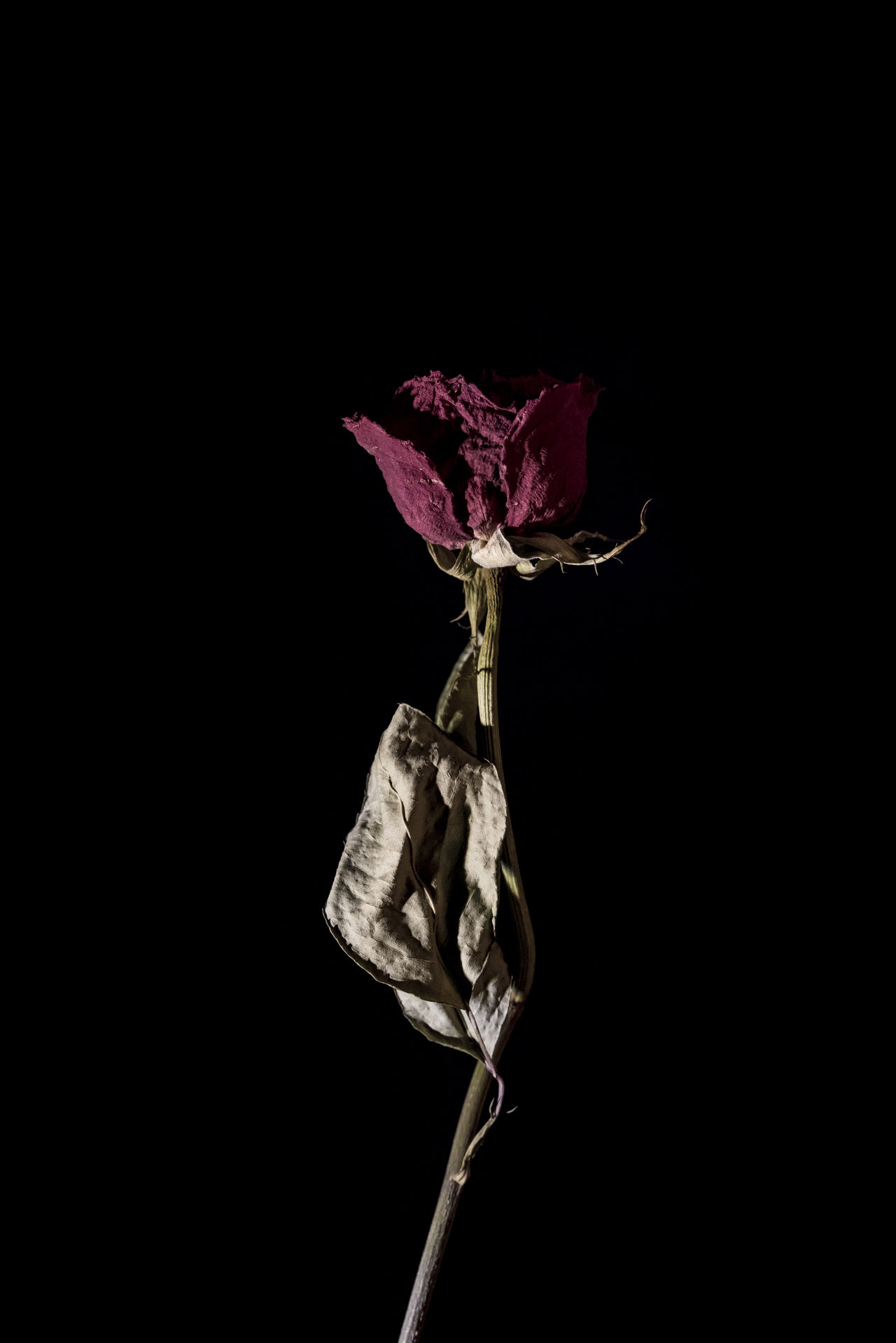 Wilted red rose with black background. Studio photography. Beauty In Nature Black Background Close-up Contrast Darkness And Light Dried Plant Flower Fragility Minimal Nature Petal Plant Portrait Photography Red Rose Rose - Flower Rose🌹 Shadow And Light Shadow-art Shadowplay Simple Spotlight Stem Studio Photography Studio Shoot Wilted Plant