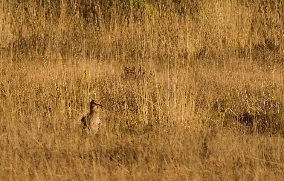 Taken at Elstead Moat. Beauty In Nature Curlew Curved Beak Heathland Bird Heathland Bird Largest European Wading Bird Nature Numenius Arquata Tranquil Scene Tranquility