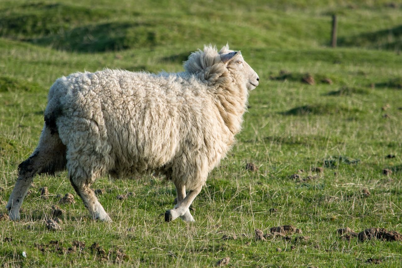 grass, livestock, animal themes, domestic animals, agriculture, animal, one animal, outdoors, grazing, field, nature, day, focus on foreground, green color, standing, no people, mammal, full length, sheep, oil pump