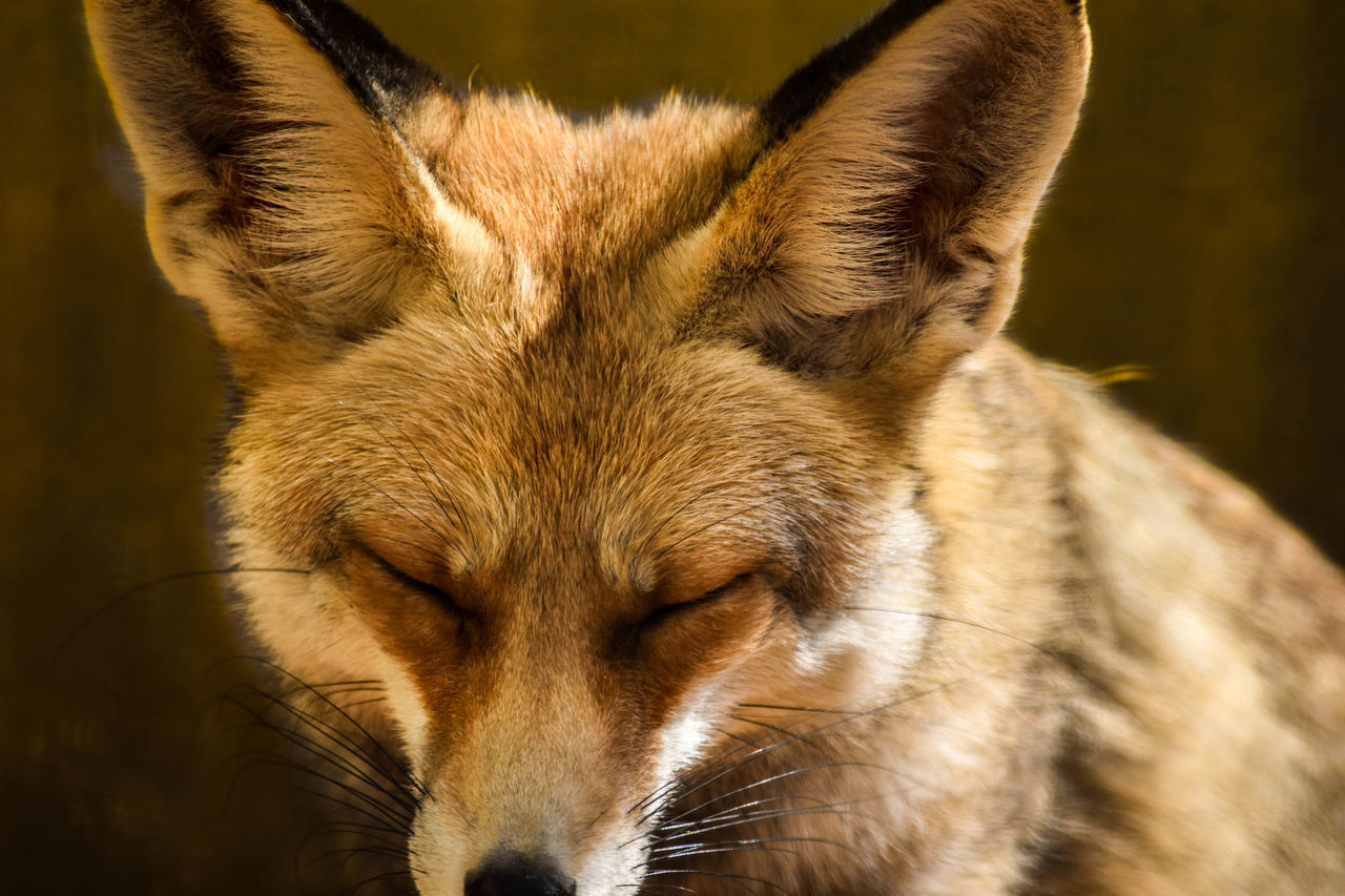 Hanging Out Taking Photos Check This Out Hello World EyeEm Animal Lover السودان Photography تصويري  تصويري_نيكون Photographs الرياض Learn & Shoot: Leading Lines Animals Check This Out Taking Photos Foxy Foxglove Fox🐺 Eyes Relaxing