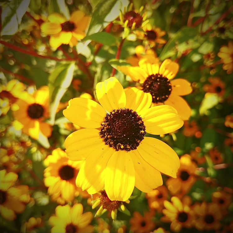Wildflower Summertime Art Is Everywhere Eye4photography  PicturePerfect Eye4photography  Plant Beauty In Nature Freshness No People Petal Outdoors Flower Yellow Flower Iowa Life Flower Head Cedar Rapids