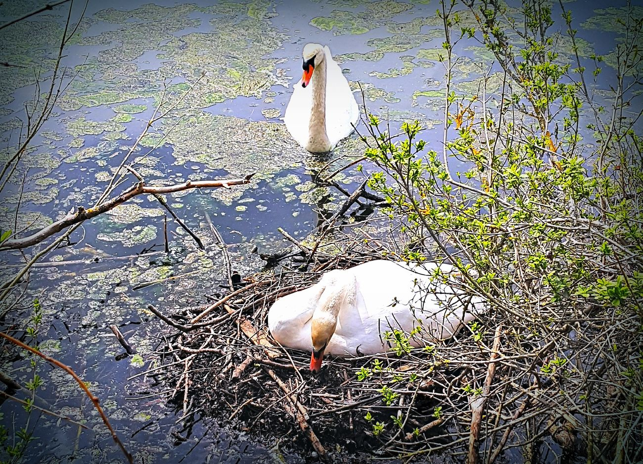 It's spring time Family Swan Nature Beauty In Nature Edersee  No People Water