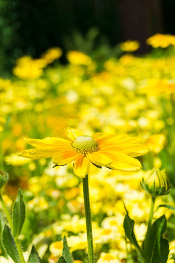 View on a yellow Flower in Summer. Golden Daisy Bush Asteraceae Beauty Blooming Close-up Closeup Easy To Grow Euryops Chrysanthemoides Flower Head Flowering Flowers Freshness Garden Golden Daisy Bush Green Growing Growth Meadow Nature Plants Season  Summer Yellow
