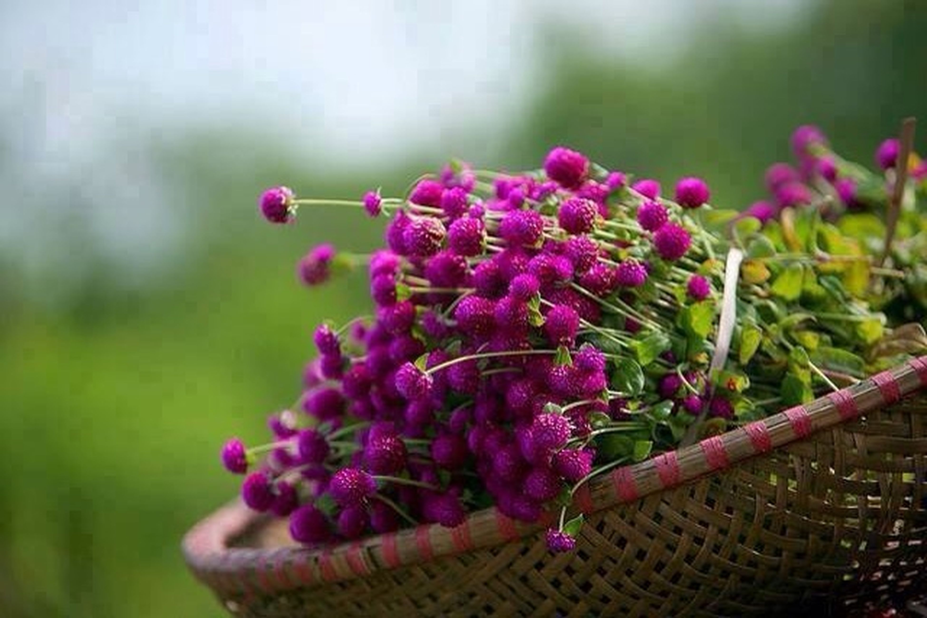flower, freshness, focus on foreground, fragility, growth, purple, petal, pink color, plant, close-up, beauty in nature, blooming, nature, flower head, stem, selective focus, day, in bloom, outdoors, bud