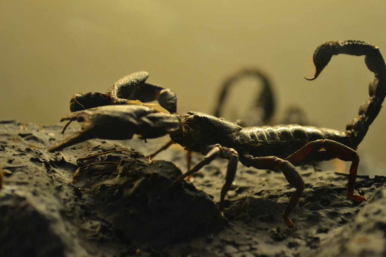 Beautiful stock photos of scorpion,  Aggression,  Animal Themes,  Animal Wildlife,  Animals In The Wild