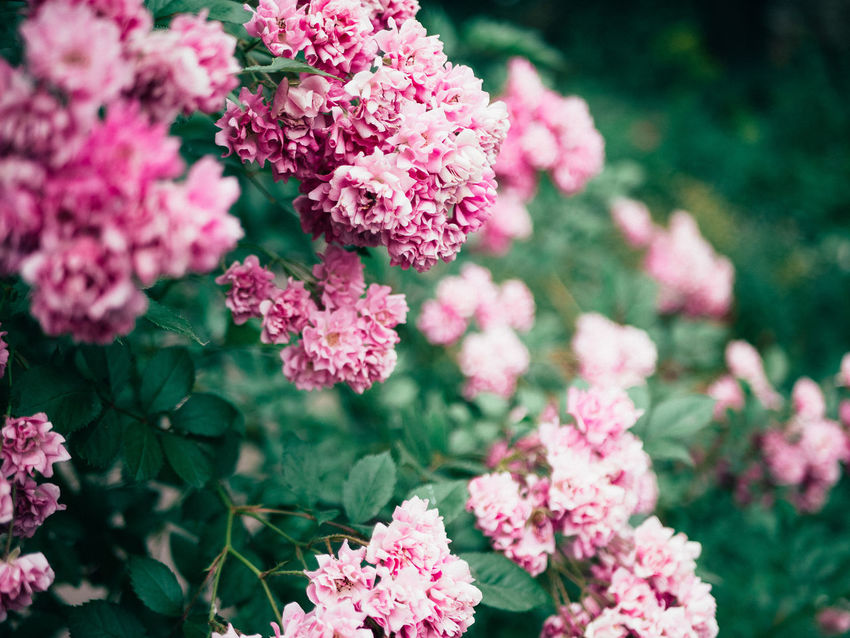 Beauty In Nature Blooming Close-up Day Flower Flower Head Focus On Foreground Fragility Freshness Green Green Green!  Growth Nature No People Outdoors Petal Pink Color Plant Shrub Roses Wild Flowers Wild Rose