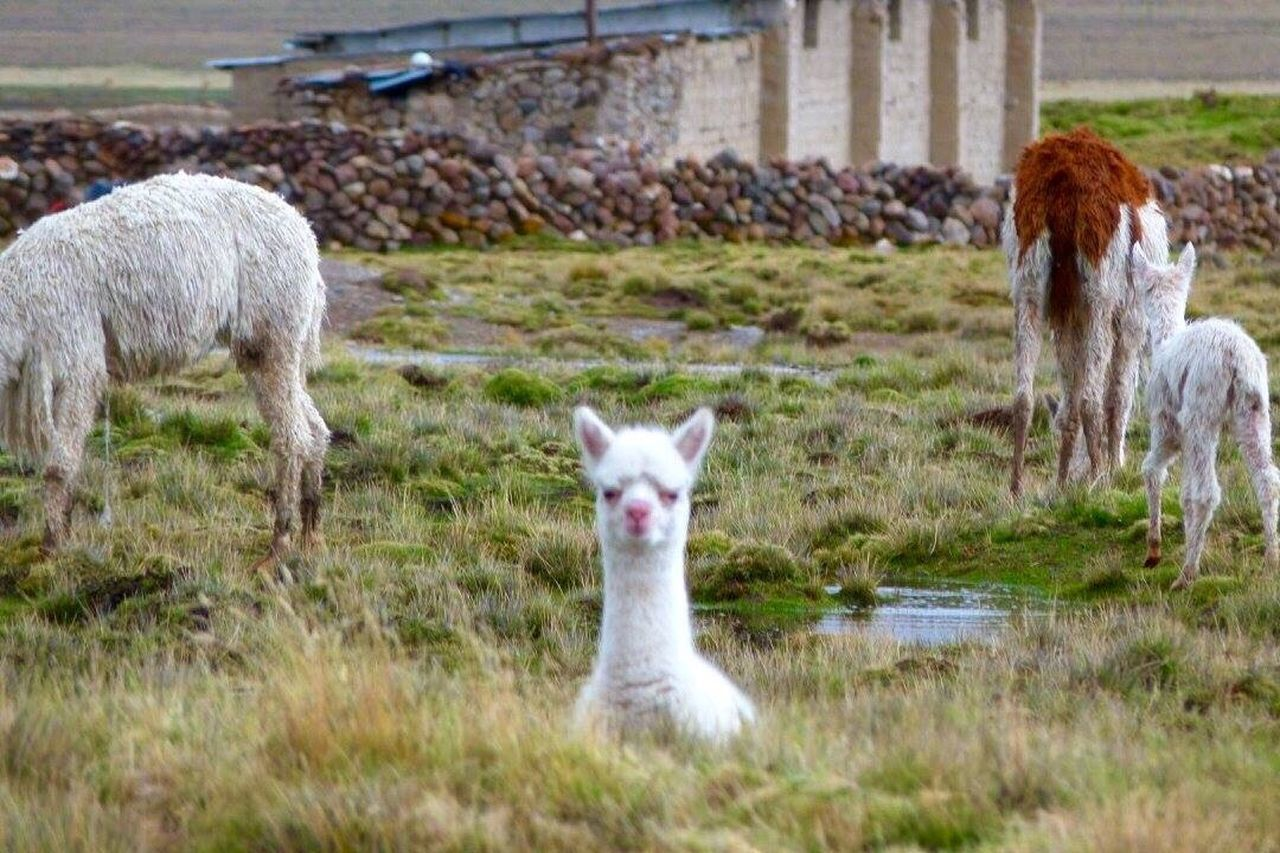 animal themes, domestic animals, grass, mammal, llama, looking at camera, livestock, day, portrait, alpaca, no people, outdoors, young animal, standing