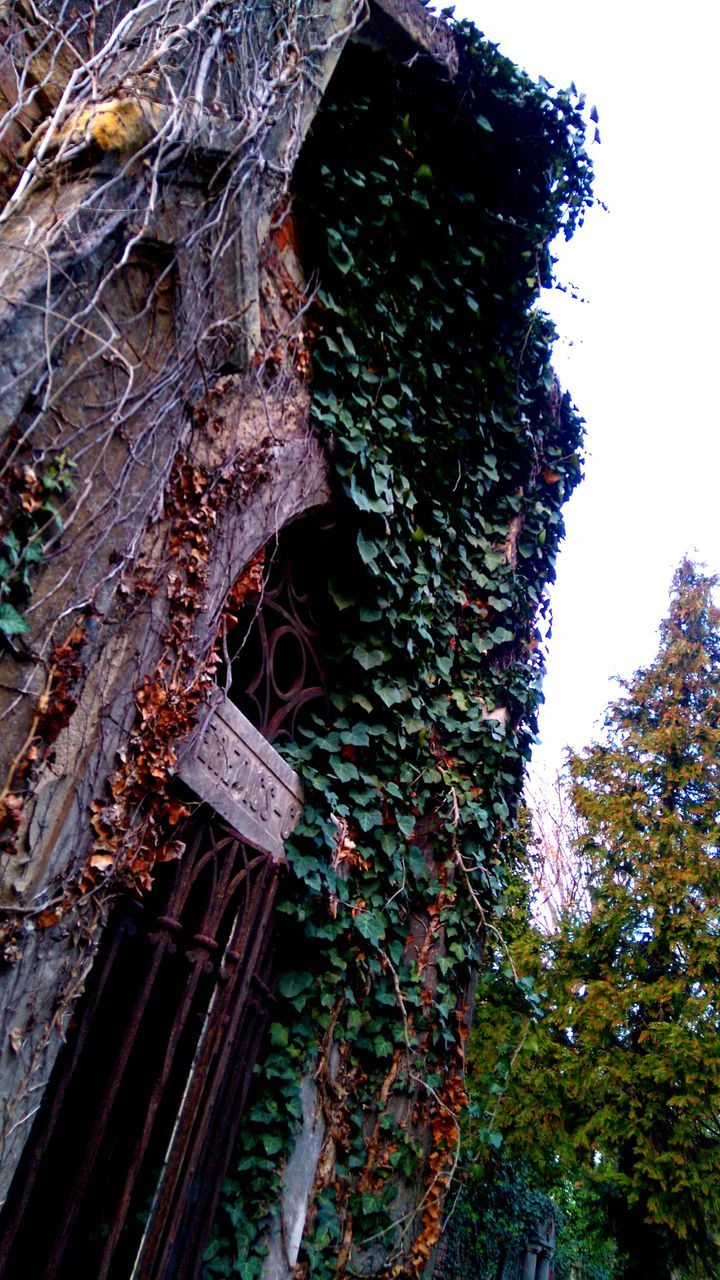 tree, day, no people, ivy, outdoors, growth, nature, plant, low angle view, tree trunk, leaf, built structure, close-up, branch, architecture, building exterior, beauty in nature