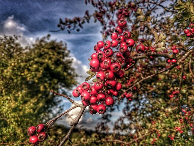 Red Fruit Nature Freshness Branch Hawthorn Hawthorne Hawthorne Tree Hawthore Berry Berry Trees Outdoors Beauty In Nature Tree Winter Fruits Natures Winter Fruits HDR Nature