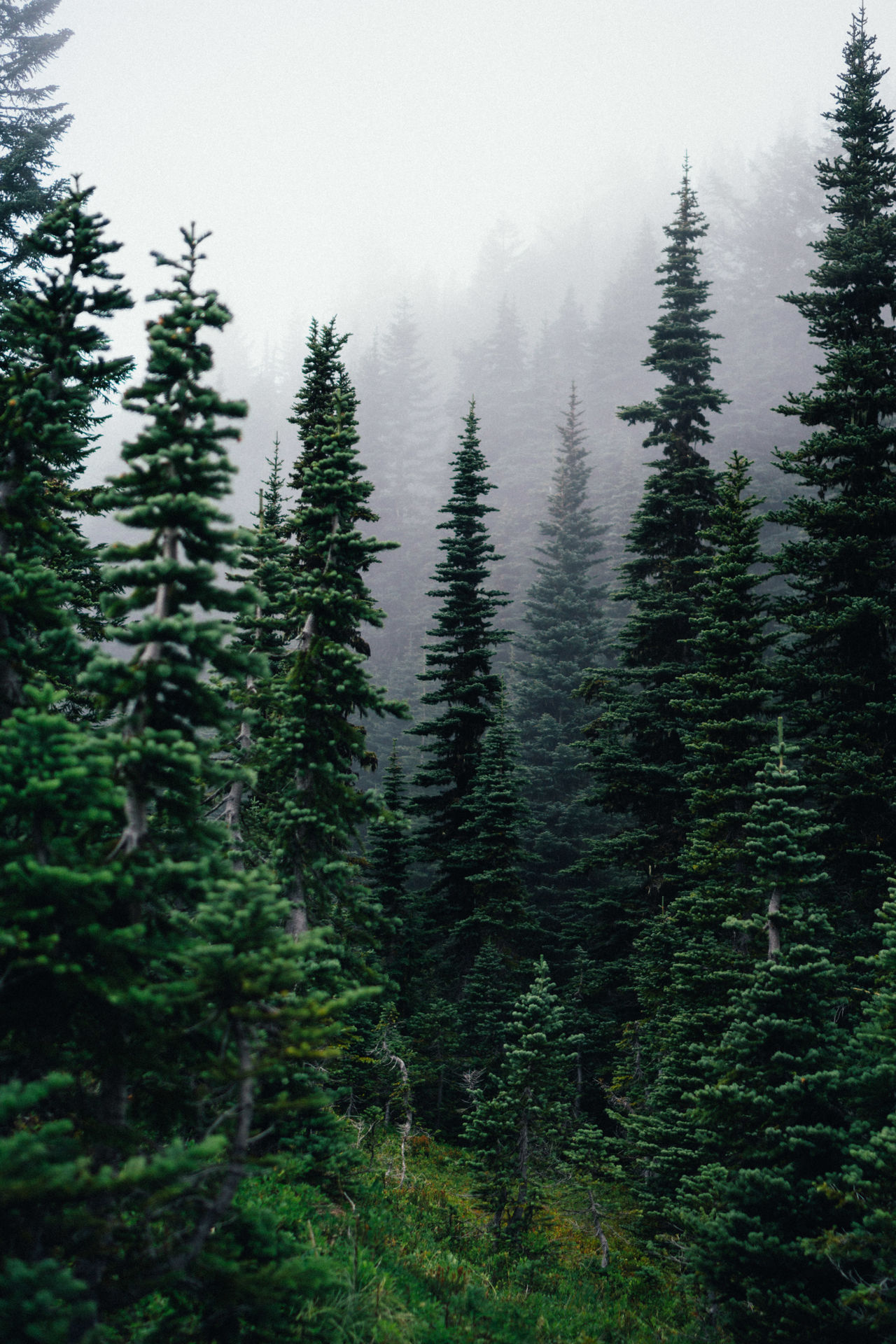 Beauty In Nature Coniferous Tree Day Fog Forest Growth Landscape Nature No People Outdoors Pine Tree Scenics Sky Tranquility Tree