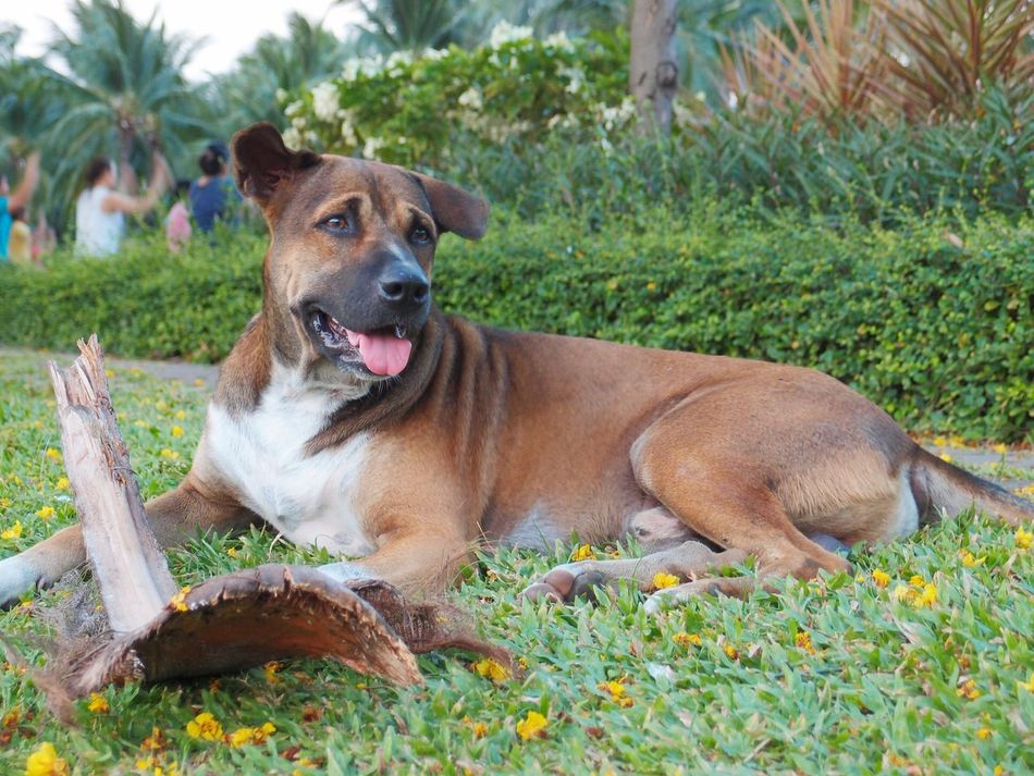 stray dog lay down on grasses and bite coconut stalk . I saw him at the park. he very friendly :) Stray Dog Cleaver Lay Down Doggyduggy :) Protrait Dog Grasses Coconut Stalk