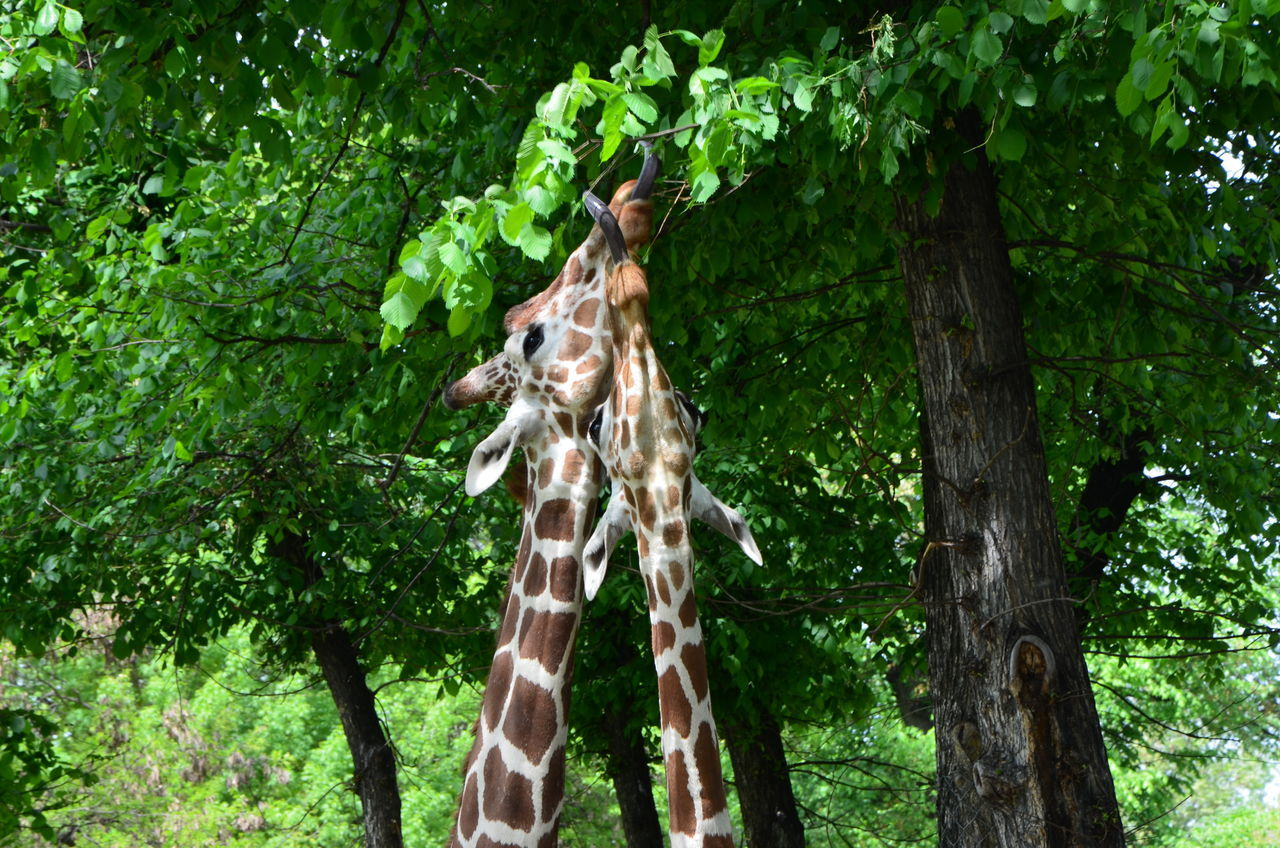 Animal Photography Animals Animsl Beauty In Nature Close-up Couple Eating Eating Healthy Giraffe Giraffes Green Nature Outdoors Together Tree Tongue Tongue Out Neck Tall Two Is Better Than One Eyeemphoto