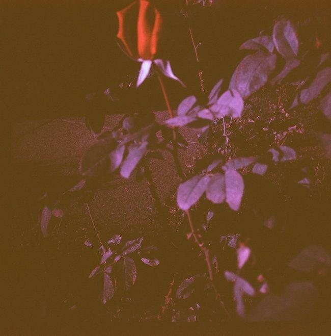 Red Rose Lomochrome Purple Diana F+ Glass Lens
