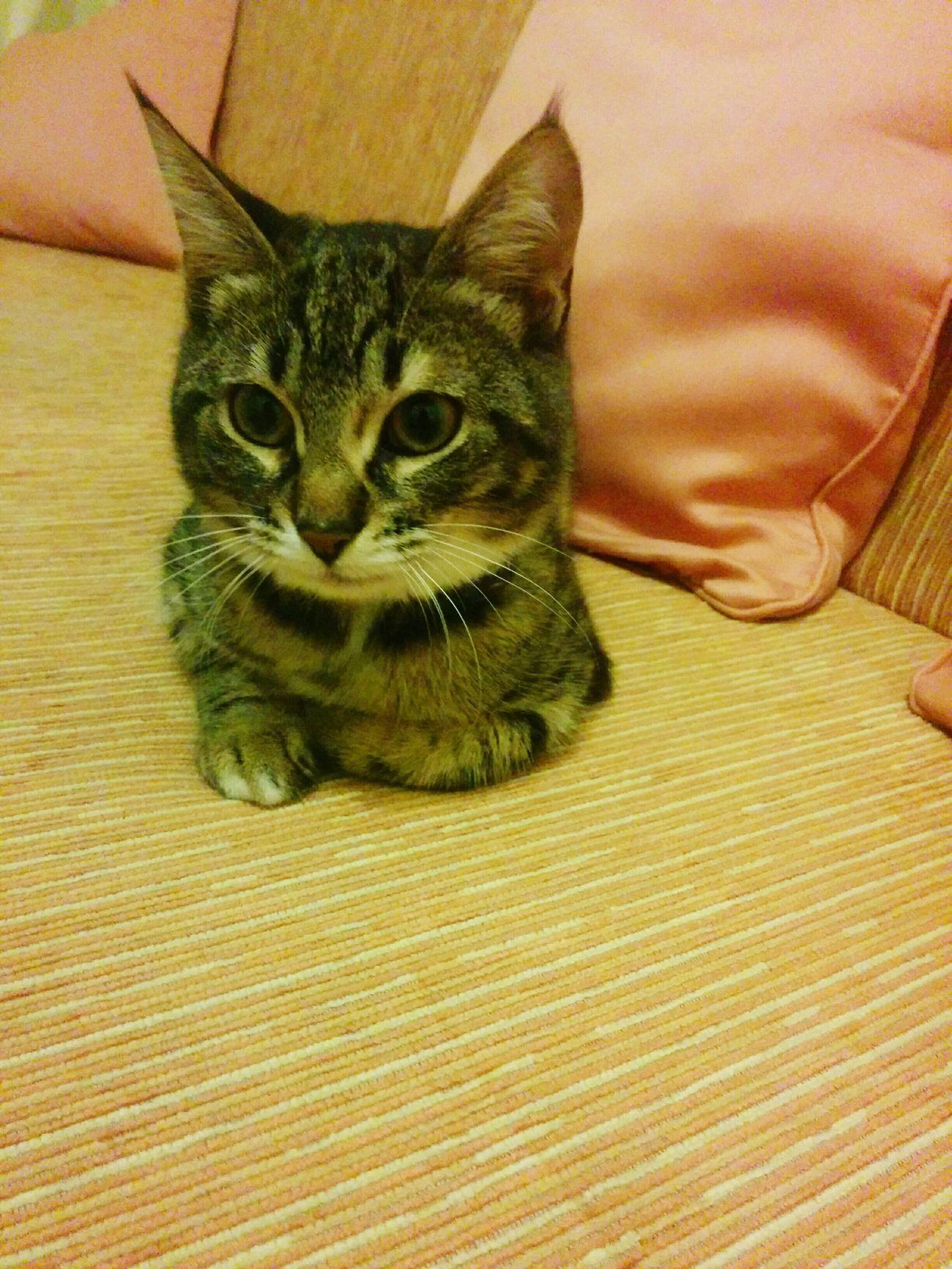 Domestic Cat Pets Portrait One Animal Cat Indoors