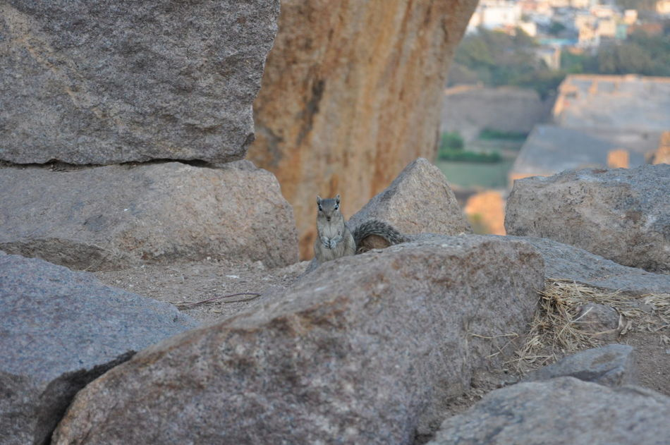 Golconda fort Animal Themes Animal Wildlife Animals In The Wild Chipmunk Chipmunk Close-up Chipmunk Photography Chipmunkface Discovering Golconda_fort India Indian Culture  Nature Nice No People One Animal Outdoors Rock - Object Sweet Travel