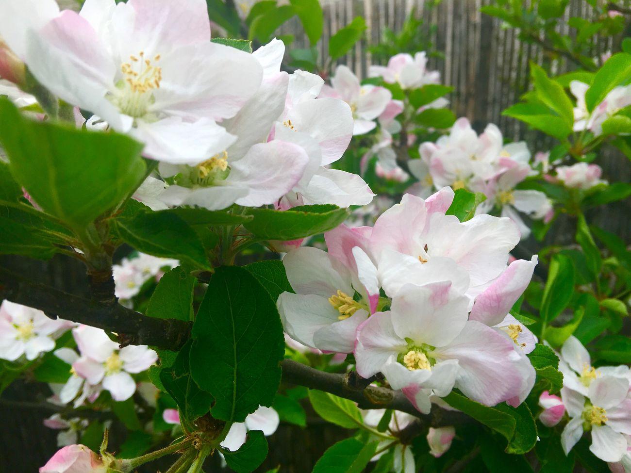 Apple Blossom My Garden @my Home Springtime Flower IPhone Photography