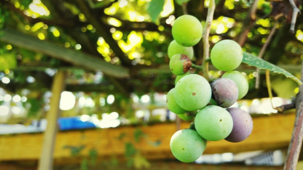 Fruit Food And Drink Freshness Focus On Foreground Food Hanging Healthy Eating Grape Growth Group Of Objects Branch Outdoors Nature Abundance Green Color Agriculture Bunch Grapes Concord Grapes Grapevine Unripe Fruit Ripening Fruit Pennsylvania United States The EyeEm Collection
