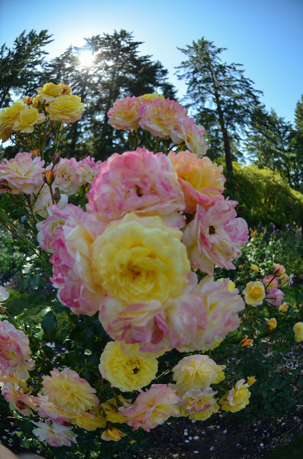Rose city perfection 🌹Portlandrosegarden PNWonderland PNW Nikon Nikon D5100  Nikonphotography Roses🌹 Themaneimagephotography Oregonsummer Fisheyelens
