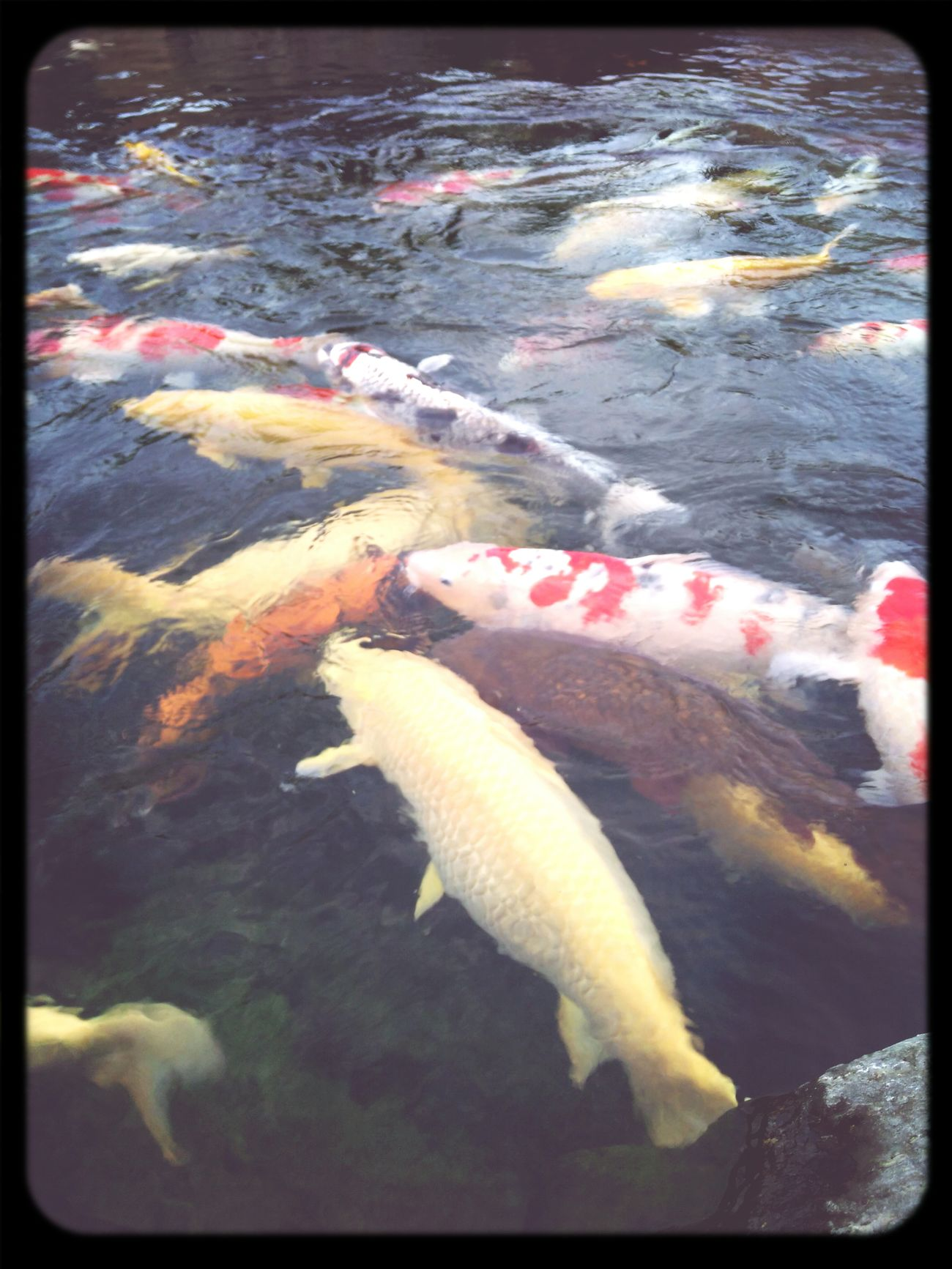 Koi Fish First Eyeem Photo