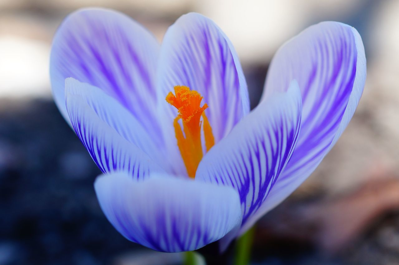 Beauty In Nature Blooming Close-up Crocus Flower Flower Head Focus On Foreground Fragility Freshness Frühling Frühlingsboten Growth In Bloom Nature Petal Plant Pollen Purple Selective Focus Single Flower Spring Stamen Stem
