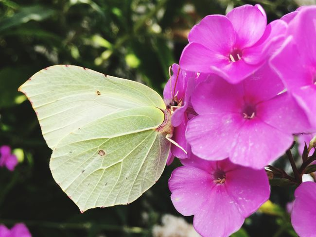 Butterfly Taking Photos Holland Iphonephotography Colour Of Life Flowers,Plants & Garden Butterfly Iphoneonly