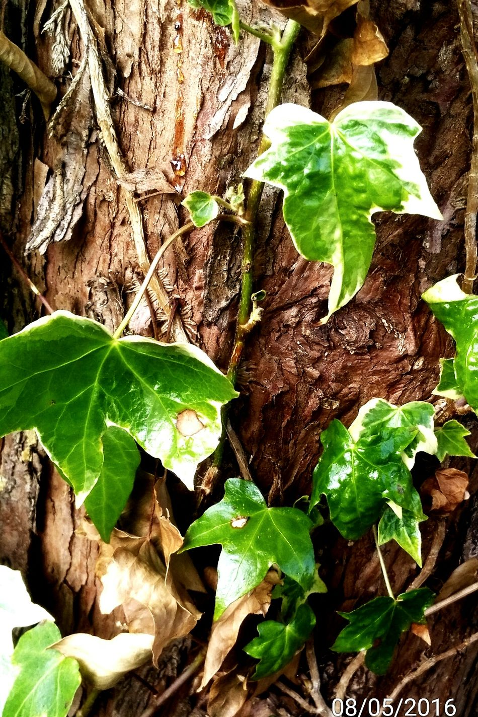 Tree Ivy Leaves Bark Ivy On Trunk Sap Patterns In Nature Great Outdoors - 2016 EyeEm Awards