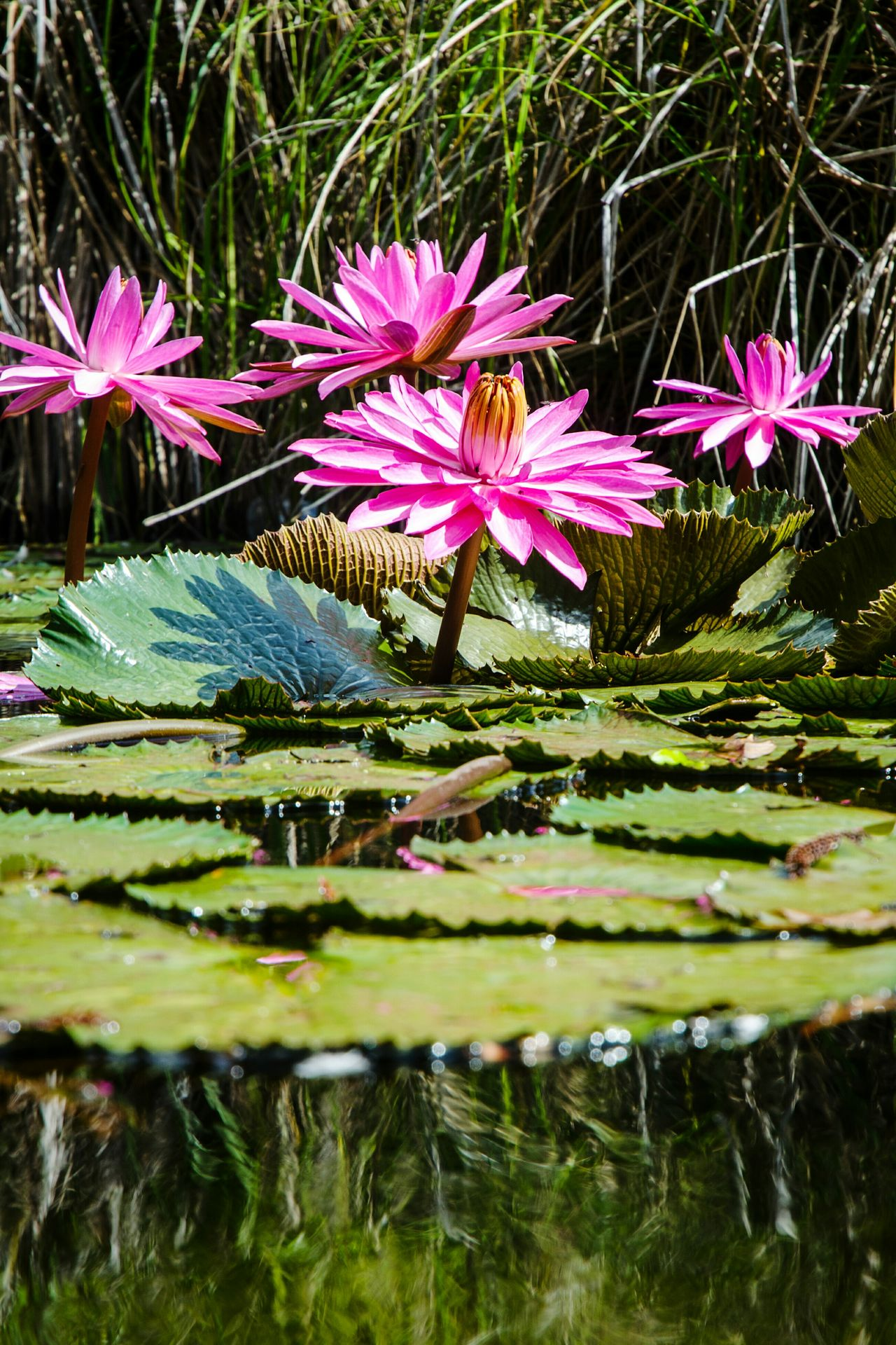 Water Flower Head Reflection Beauty In Nature Floating On Water Nature Outdoors EyeEm Flowers Collection Water Lilies Lilly Pads Nikon D5100