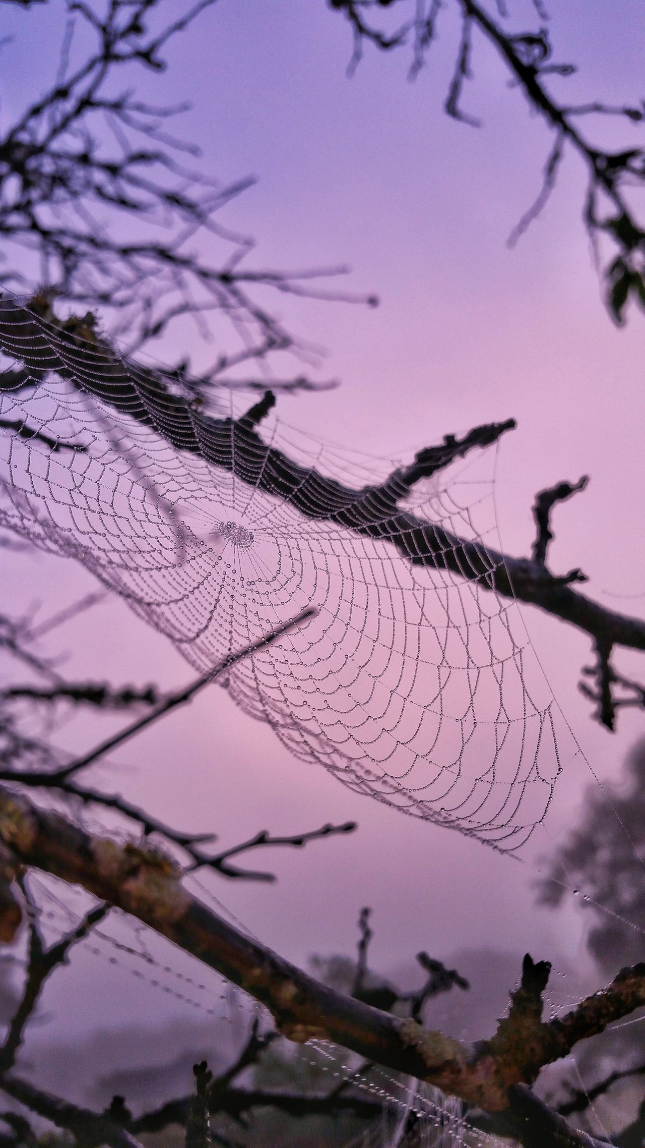 Spider Web Web Dew Dewdrops Bare Tree Dew Drops On Spider Web Sunrise Dawn Sky Beauty In Nature Silhouette Scenics Outdoors Nature Foggy Morning Foggy Weather Landscape Tree Limbs Fall Weather Pastel Colors Pastel Power My Year My View