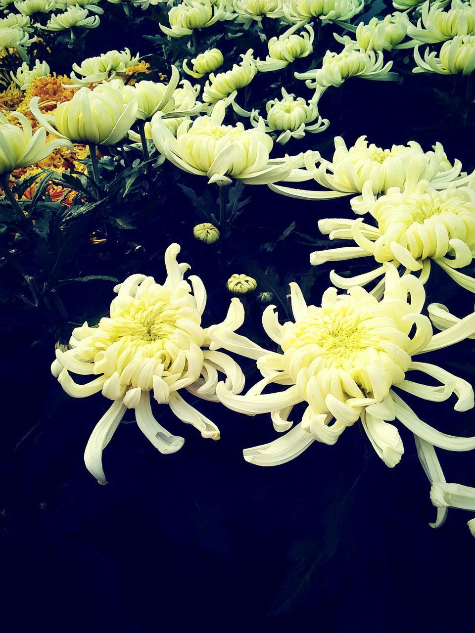 flower, petal, freshness, fragility, flower head, growth, beauty in nature, white color, nature, close-up, plant, blooming, leaf, high angle view, in bloom, yellow, blossom, bunch of flowers, no people, botany